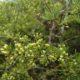 Asparagus multiflorus
