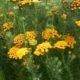 Athanasia parviflora