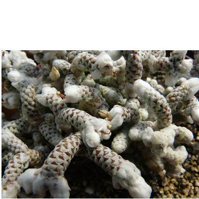 Avonia recurvata ssp. buderiana