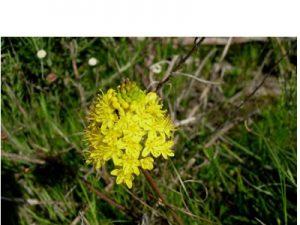 Bulbinella triquetra  (10)