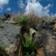 Babiana noctiflora