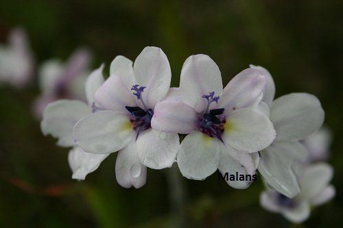 Babiana patersoniae (White yellow throat)