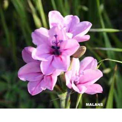 Babiana purpurea pink
