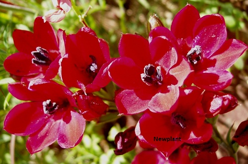Babiana villosa RED