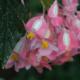 """Begonia corallina """"lucerna"""""""