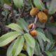Bequaertiodendron magalismontanum