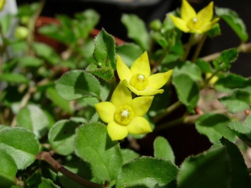 Brachystelma caffrum PLANT