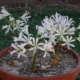 Brunsvigia gariepensis BULB
