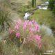 Brunsvigia grandiflora bulb