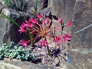 Brunsvigia gregaria BULB