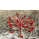 Brunsvigia orientalis (25)
