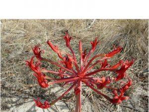 Brunsvigia orientalis BULB