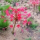 Brunsvigia radulosa dark redish/pink