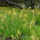 Bulbine frutescens yellow