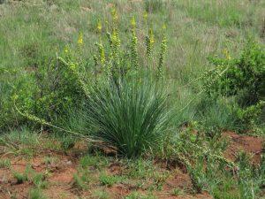 Bulbine angustifolia