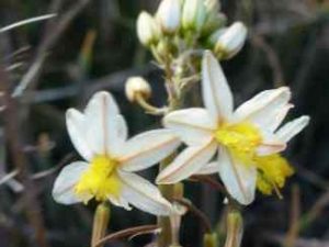 Bulbine frutescens white