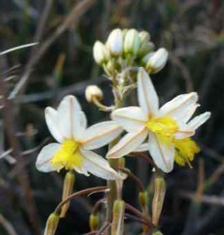 Bulbine frutescens white