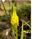 Bulbine latifolia