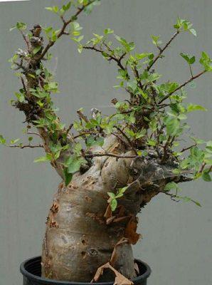 Bursera fagaroides  (10)