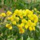 Caesalpinia mexicana  (5)