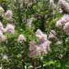 Calodendron capense
