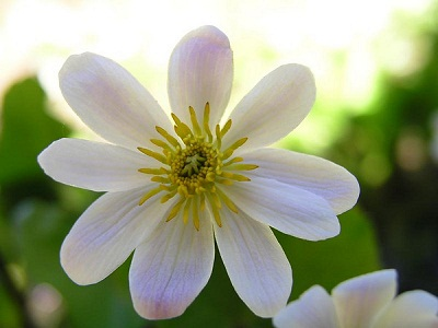 Caltha leptosepala var. howellii