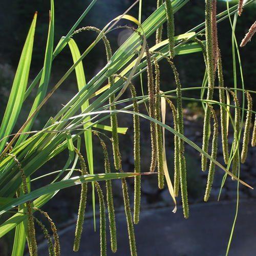Carex pendula