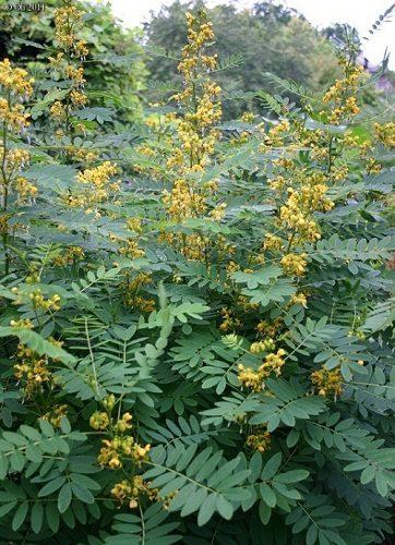 Cassia marylandica