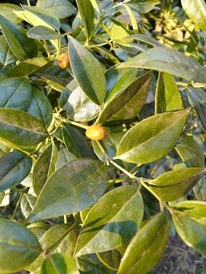 Cassinopsis ilicifolia