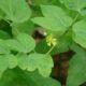Caulophyllum robustum
