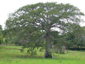 Ceiba pentandra  (5)