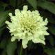 Cephalaria galpiniana