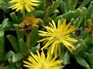 Chasmatophyllum nelii