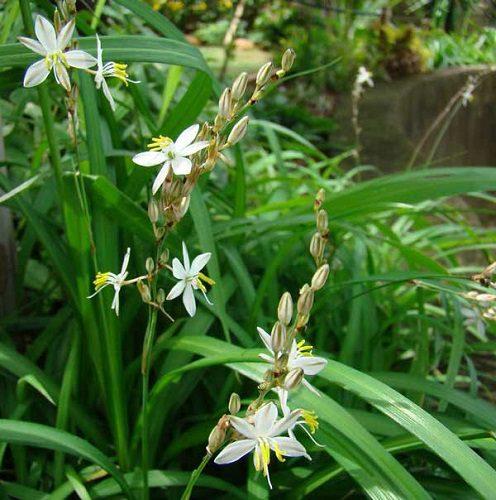 Chlorophytum saundersii