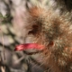 Cleistocactus buchtienii