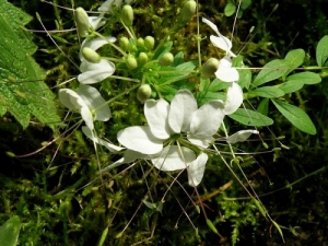 Cleome chilensis