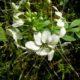 Cleome chilensis