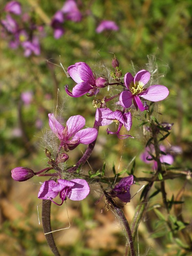 Cleome oxyphylla