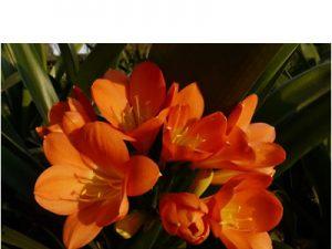 Clivia miniata ORANGE