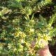 Clutia daphnoides