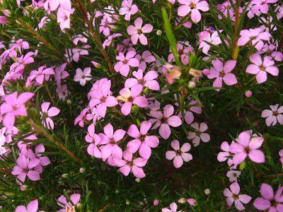 Coleonema pulcherimum