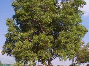 Combretum erythrophyllum
