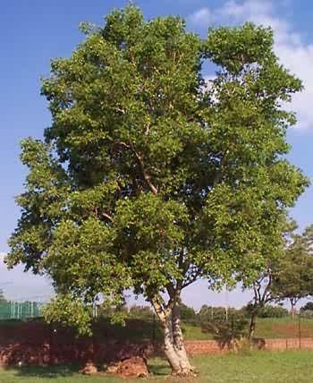 Combretum erythrophyllum (cleaned)