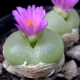 Conophytum pillansii