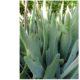 "Cotyledon orbiculata ""Staghorn"""