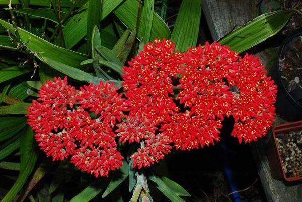 Crassula perfoliata ssp. coccinea
