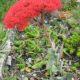 Crassula perfoliata var. minor