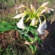 Crinum macowanii BULB