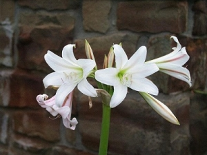 Crinum variable BULB