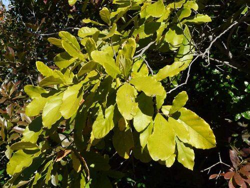 Cryptocarya latifolia